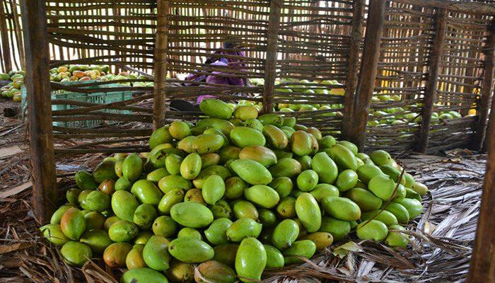 Mango Farmers